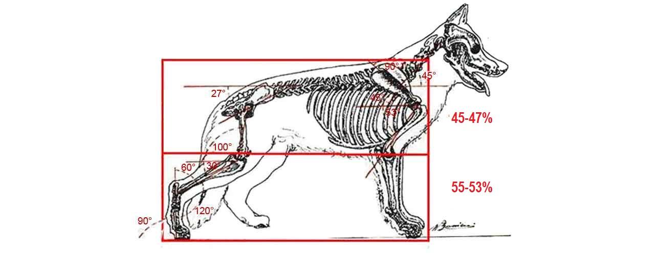 Método de cinco pasos para comprender la anatomía del pastor alemán